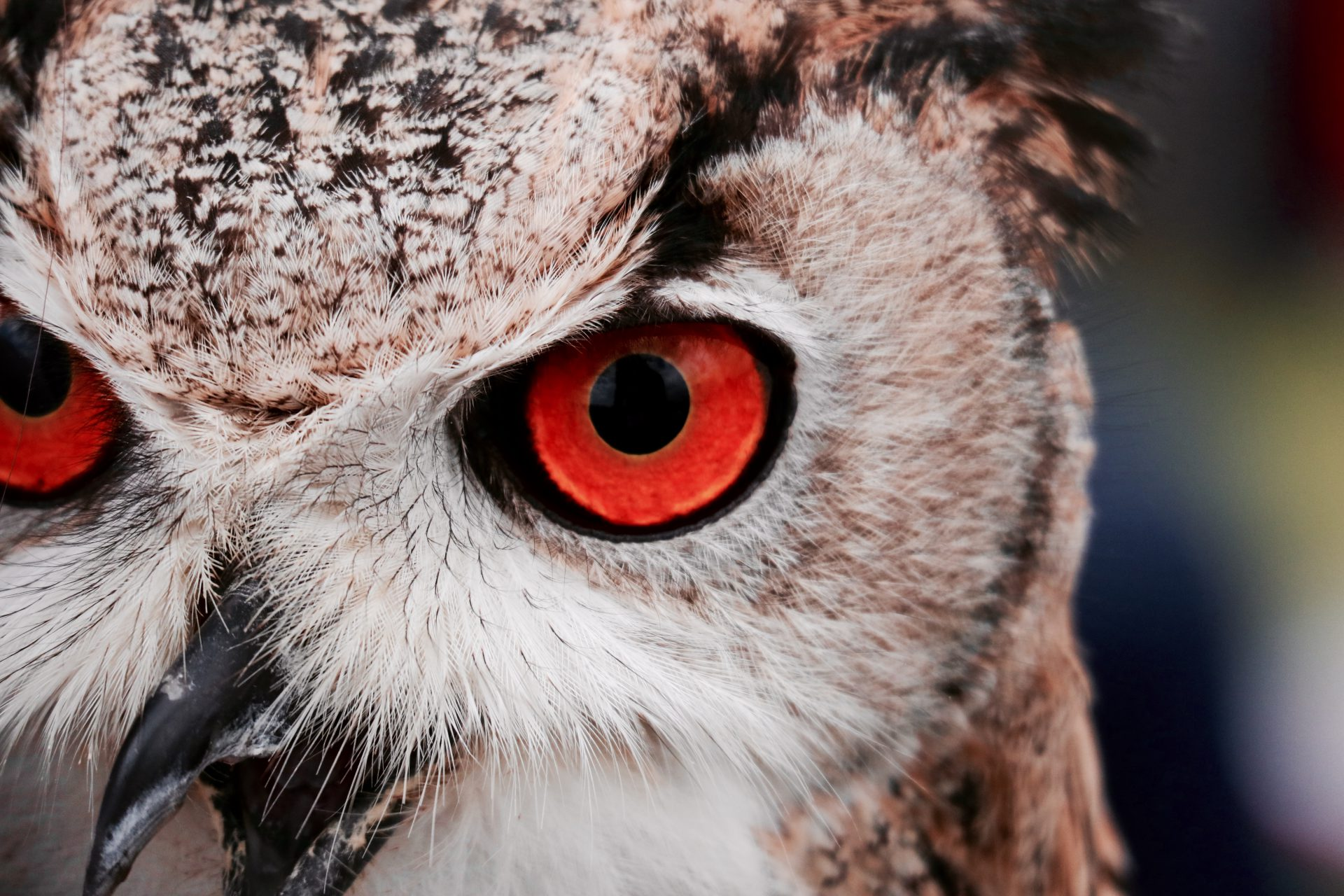 Owl with red eye